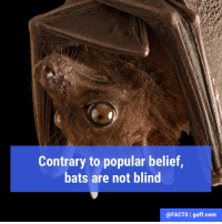 Memes, Navigation, and 🤖: Contrary to popular belief  bats are not blind  @FACTS I guff com In fact, there are approximately 1,100 species of bat, and none of them are blind. Their eyes actually see pretty well in the light, only...you know, bats live in caves, where it's dark. That's why they use echolocation to navigate in the dark.