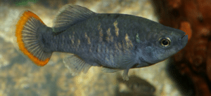 Family, Fish, and Tequila: Contrary to popular belief, this fish family gives birth similar to mammals, females carry fry to term using a pre-placenta like structure called trophotaeniae. This species, Zoogoneticus tequila is extinct in the wild.