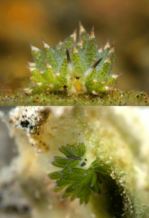 Family, Tumblr, and Blog: cool-critters:  Costasiella kuroshimaeCostasiella kuroshimae is a species of sacoglossan sea slug, a shell-less marine opisthobranch gastropod mollusk in the family Costasiellidae.It has the ability to incorporate chloroplasts from the algae it feeds on into its body and use them to do photosynthesis (see kleptoplasty). The type locality is Kuroshima, Taketomi, Okinawa, Ryukyu Islands. photo credits:   alif_abdulrahman        ,   Rickard Zerpe