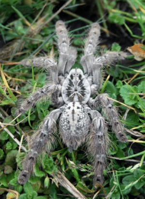 cool-critters:  Heteroscodra maculataHeteroscodra maculata is an Old World species of tarantula. This species is native to West Africa and is found primarily in Togo and Ghana. These tarantulas can reach their full size after about 3 years. When  fully grown, these species can reach leg-spans of up to 5 inches. Heteroscodra maculata specimens are quite fast, defensive and possess potent venom. They are an arboreal species, though younger specimens have been noted to burrow during their first few months of life. photo credits: Marc BRETHES: cool-critters:  Heteroscodra maculataHeteroscodra maculata is an Old World species of tarantula. This species is native to West Africa and is found primarily in Togo and Ghana. These tarantulas can reach their full size after about 3 years. When  fully grown, these species can reach leg-spans of up to 5 inches. Heteroscodra maculata specimens are quite fast, defensive and possess potent venom. They are an arboreal species, though younger specimens have been noted to burrow during their first few months of life. photo credits: Marc BRETHES