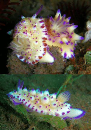 Family, Tumblr, and China: cool-critters:  Mexichromis multituberculataMexichromis multituberculata is a species of sea slug, a dorid nudibranch, a shell-less marine gastropod mollusk in the family Chromodorididae. This animal was initially found in the Seto Inland Sea and Kii Channel, Japan, and later near Hainan Island and Hong Kong in China, and has been photographed in Indonesia, Malaysia, Papua New Guinea, Sulawesi, Egypt, Thailand. This species has purple spots around the edge of the mantle. The mantle also has scattered purple-tipped tubercules.photo credits: Steve Childs