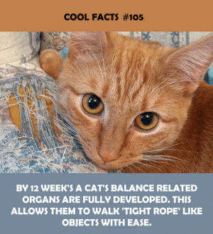 Cats, Facts, and Cool: COOL FACTS #105  BY 12 WEEK'S A CAT'S BALANCE RELATED  ORGANS ARE FULLY DEVELOPED. THIS  ALLOWS THEM TO WALK 'TIGHT ROPE' LIKE  OBJECTS WITH EASE