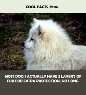 fur: COOL FACTS #106  MOST DOG'S ACTUALLY HAVE 2 LAYER'S OF  FUR FOR EXTRA PROTECTION, NOT ONE.