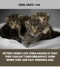 Facts, Breakfast, and Cool: COOL FACTS #115  KITTEN'S MUM'S LICK THEM AWAKE $O THAT  THEY CAN EAT THEIR BREAKFAST, EVEN  WHEN THEY ARE PAST WEENING AGE.
