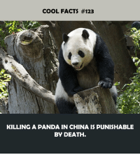 Cool: COOL FACTS #123  KILLING A PANDA IN CHINA IS PUNISHABLE  BY DEATH.