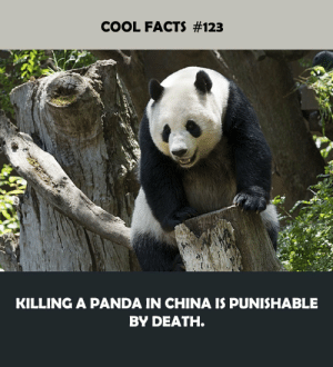 A Panda: COOL FACTS #123  KILLING A PANDA IN CHINA IS PUNISHABLE  BY DEATH.