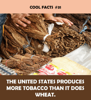 Facts, Cool, and United: COOL FACTS #31  THE UNITED STATES PRODUCES  MORE TOBACCO THAN IT DOES  WHEAT.