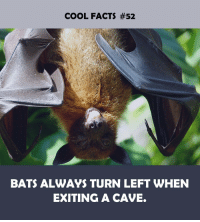 Facts, Cool, and Bats: COOL FACTS #52  BATS ALWAYS TURN LEFT WHEN  EXITING A CAVE.