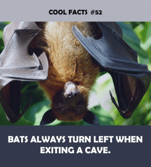 Caving: COOL FACTS #52  BATS ALWAYS TURN LEFT WHEN  EXITING A CAVE.