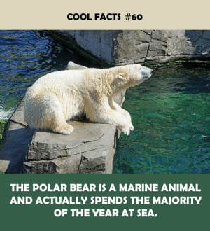 Facts, Animal, and Bear: COOL FACTS #60  THE POLAR BEAR IS A MARINE ANIMAL  AND ACTUALLY SPENDS THE MAJORITY  OF THE YEAR AT SEA.