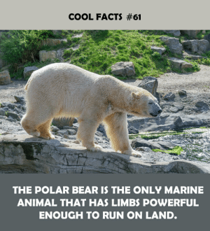Facts, Run, and Animal: COOL FACTS #61  THE POLAR BEAR IS THE ONLY MARINE  ANIMAL THAT HAS LIMBS POWERFUL  ENOUGH TO RUN ON LAND