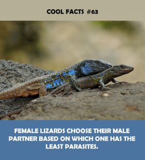 parasites: COOL FACTS #63  FEMALE LIZARDS CHOOSE THEIR MALE  PARTNER BASED ON WHICH ONE HAS THE  LEAST PARASITES