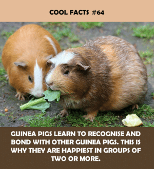 Facts, Cool, and Bond: COOL FACTS #64  GUINEA PIGS LEARN TO RECOGNISE AND  BOND WITH OTHER GUINEA PIGS. THIS IS  WHY THEY ARE HAPPIEST IN GROUPS OF  TWO OR MORE.