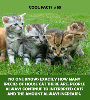 house cat: COOL FACTS #65  NO ONE KNOWS EXACTLY HOW MANY  SPECIES OF HOUSE CAT THERE ARE. PEOPLE  ALWAYS CONTINUE TO INTERBREED CATS  AND THE AMOUNT ALWAYS INCREASES.