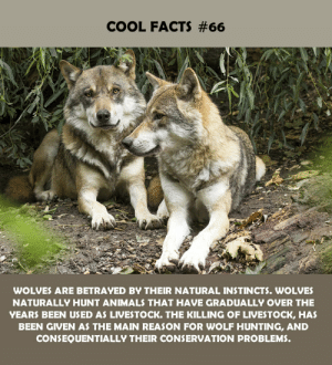 the killing: COOL FACTS #66  WOLVES ARE BETRAYED BY THEIR NATURAL INSTINCTS. WOLVES  NATURALLY HUNT ANIMALS THAT HAVE GRADUALLY OVER THE  YEARS BEEN USED AS LIVESTOCK. THE KILLING OF LIVESTOCK, HAS  BEEN GIVEN AS THE MAIN REASON FOR WOLF HUNTING, AND  CONSEQUENTIALLY THEIR CONSERVATION PROBLEMS.