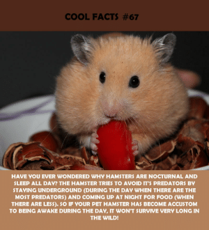 hamsters: COOL FACTS #67  HAVE YOU EVER WONDERED WHY HAMSTERS ARE NOCTURNAL AND  SLEEP ALL DAY? THE HAMSTER TRIES TO AVOID IT'S PREDATORS BY  STAYING UNDERGROUND (DURING THE DAY WHEN THERE ARE THE  MOST PREDATORS) AND COMING UP AT NIGHT FOR FOOD (WHEN  THERE ARE LESS). SO IF YOUR PET HAMSTER HAS BECOME ACCUSTOM  TO BEING AWAKE DURING THE DAY, IT WON'T SURVIVE VERY LONG IN  THE WILD!
