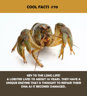 Facts, Life, and Cool: COOL FACTS #70  KEY TO THE LONG LIFE?  A LOBSTER LIVES TO ABOUT 7O YEARS. THEY HAVE A  UNIQUE ENZYME THAT IS THOUGHT TO REPAIR THEIR  DNA AS IT BECOMES DAMAGED.