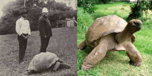 coolthingoftheday:  kamenrideraqua:  coolthingoftheday:  Johnathan the tortoise in 1900, and the same tortoise again in 2015.  he looks great, what's his secret  Dermatologists HATE him : coolthingoftheday:  kamenrideraqua:  coolthingoftheday:  Johnathan the tortoise in 1900, and the same tortoise again in 2015.  he looks great, what's his secret  Dermatologists HATE him