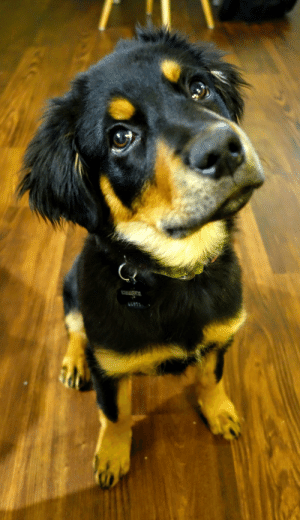 Cooper is four months old. Cooper is an Australian Shepherd-Rottweiler mix. Cooper is perfect.: Cooper is four months old. Cooper is an Australian Shepherd-Rottweiler mix. Cooper is perfect.
