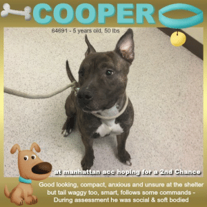 "Animals, Cats, and Children: COOPERC  64691 5 years old, 50 lbs  at manhattan acc hoping for a 2nd Chance  Good looking, compact, anxious and unsure at the shelter  but tail waggy too, smart, follows some commands  During assessment he was social & soft bodied TO BE KILLED - 6/15/2019   How does a young fella stand out in a crowd?? Charm the pants off them, that's exactly what Cooper demonstrates. This super friendly, attention seeking, soft bodied and social greeter knows a thing or ten about winning people over. His big brown eyes, supersized smile, and lush, downy coat are just the beginning. Cooper knows the competition is Ruff, so he will drop and roll, stand up to greet, and showed his willingness to cooperate for a medical exam while wearing a muzzle. Pretty impressive! This youngster has lots of happy energy, super playful, treat motivated, and assumes all people are friends. He's mid sized and full of vibrancy. It's easy to love him! He recently arrived at the shelter, sadly he was no sooner listed to be destroyed. If you are interested in saving this cheerful baby boy through fostering or adopting, please reach out to this page.  COOPER@MANHATTAN ACC Hello, my name is Cooper My animal id is #64691 I am a male brown brindle dog at the  Manhattan Animal Care Center The shelter thinks I am about 5 years old, 50 lbs Came into shelter as a agency June 2, 2019  Cooper is at risk for medical and behavioral reasons. Cooper was diagnosed with canine infectious respiratory disease complex which is contagious to other animals and will require in home care. Behaviorally, Cooper has shown dog reactivity and has become difficult to manage at the care center, and will need behavior modification and reward based training.  My medical notes are... Weight: 50.8 lbs Vet Notes 4/06/2019 [DVM Intake] DVM Intake Exam Estimated age:3-5y Microchip noted on Intake?n Microchip Number (If Applicable): History :stray Subjective: Observed Behavior - wags tail, food motivated, alert. will hard stare sometimes. became very hyper when he heard cats meowing. allowed muzzled exam Evidence of Cruelty seen -n Evidence of Trauma seen -n Objective  T = P =80 R =wnl BCS 5/9  EENT: Eyes clear, ears clean, no nasal or ocular discharge noted Oral Exam:front teeth clean PLN: No enlargements noted H/L: NSR, NMA, Lungs clear, eupnic ABD: Non painful, no masses palpated U/G:2 testes MSI: Ambulatory x 4, skin free of parasites, no masses noted, healthy hair coat CNS: Mentation appropriate - no signs of neurologic abnormalities  Assessment: healthy Prognosis:good Plan:neuter SURGERY: Okay for surgery  13/06/2019 SO  BAR in kennel.  EN -- coughing, serous nasal discharge  A  CIRDC  P  enrofloxacin 1 1/4 tablet PO q24h x 10 days  cerenia 60mg tablet -- give 1 tablet PO q24h x 4 days  Details on my behavior are... Behavior Condition: 2. Blue  Behavior History Behavior Assessment Cooper allowed for all handling during the intake process. Cooper allowed the counselor to collar him as well as pet him on the head and his back.  Date of Intake: 6/2/2019  Basic Information:: Cooper is a male adult large mixed breed dog. He came into the shelter as a stray.  Previously lived with:: Unknown  How is this dog around strangers?: Cooper seems very excitable and friendly around strangers. This is shown by a very loose body and a wagging tail when greeting the intake counselors.  How is this dog around children?: This was not observed as Cooper came in as a stray.  How is this dog around other dogs?: This was not observed as Cooper came in as a stray; however, in the shelter, he seems to be dog reactive as he will bark and lounge at other dogs in passing.  How is this dog around cats?: This was not observed as Cooper came in as a stray.  Resource guarding:: This was not observed as Cooper came in as a stray.  Bite history:: No known bite history  Housetrained:: Unknown  Energy level/descriptors:: very high  Medical Notes: Medical history is unknown as Cooper came in as a stray.  For a New Family to Know: Cooper seems like a very friendly and excitable dog. He seems to have a lot of energy especially when meeting new people. When given treats, he seems to know how to sit as he will sit when the treats are taken out.  ====================  Date of intake:: 6/2/2019  Spay/Neuter status:: No  Means of surrender (length of time in previous home):: Stray  Date of assessment:: 6/3/2019  Summary:: Leash Walking Strength and pulling: Hard Reactivity to humans: None Reactivity to dogs: Extreme Leash walking comments: Lunges towards them, hard barks. Also barks on the walk not directing the barking towards anything.  Sociability Loose in room (15-20 seconds): High;y social  Call over: Approaches readily Sociability comments: Body soft  Handling  Soft handling: Seeks contact Exuberant handling: Seeks contact Comments: Body soft, leans into pets, rolls on back  Arousal Jog: Engages in play (exuberant) Arousal comments: Jumps up  Knock: Approaches (exuberant) Knock Comments: Jumps up  Toy: No response Toy comments: None  Summary:: Due to high levels of concerning behavior toward dogs (lunging, growling, snapping toward), a single dog home is recommended for Cooper. He should be kept out of dog park environments or areas of high dog traffic. A muzzle is recommended for outdoor walks.  6/3: When introduced to the helper dog through the gate, Brady lunges, growls, and snaps. He continues to remain fixated and growl until the helper dog is moved out of close proximity.  6/4: Cooper is introduced to a realistic prop dog walked on leash. From a distance, he begins to growl, rushes over, and bites.  ENERGY LEVEL:: We have no history on Cooper so we cannot be certain of his behavior in a home environment. However, he is a young, enthusiastic, social dog who will need daily mental and physical activity to keep him engaged and exercised. We recommend long-lasting chews, food puzzles, and hide-and-seek games, in additional to physical exercise, to positively direct his energy and enthusiasm.  IN SHELTER OBSERVATIONS:: Cooper has shown reactivity towards dogs throughout his time at the care center. Cooper will attempt to cage fight when being walked into and out of the room, and will also bark at and pull towards dogs he sees on leash. Once he has started to react, he cannot be distracted with treats or calling.  BEHAVIOR DETERMINATION:: Level 3  Behavior Asilomar: TM - Treatable-Manageable  Recommendations:: No young children (under 5),Single-pet home,Recommend no dog parks  Recommendations comments:: No young children: Due to the high level of jumping up seen at the care center, we recommend a home without young children. Older children who are comfortable around large, jumpy dogs should have an in-depth interaction prior to adoption.  Single pet home/no dog parks: See DOG-DOG.   Potential challenges: : Basic manners/poor impulse control,On-leash reactivity/barrier frustration  Potential challenges comments:: Basic manners/poor impulse control: Cooper jumps up on people in a social manner. Please see handout on Basic Manners.  On-leash reactivity/barrier frustration: Cooper is very reactive on leash, lunging and hard barking at dogs and other things he passes. Please see handout on On-leash reactivity/barrier frustration.  *** TO FOSTER OR ADOPT ***  HOW TO RESERVE A ""TO BE KILLED"" DOG ONLINE (only for those who can get to the shelter IN PERSON to complete the adoption process, and only for the dogs on the list NOT marked New Hope Rescue Only). Follow our Step by Step directions below!   *PLEASE NOTE – YOU MUST USE A PC OR TABLET – PHONE RESERVES WILL NOT WORK! **   STEP 1: CLICK ON THIS RESERVE LINK: https://newhope.shelterbuddy.com/Animal/List  Step 2: Go to the red menu button on the top right corner, click register and fill in your info.   Step 3: Go to your email and verify account  \ Step 4: Go back to the website, click the menu button and view available dogs   Step 5: Scroll to the animal you are interested and click reserve   STEP 6 ( MOST IMPORTANT STEP ): GO TO THE MENU AGAIN AND VIEW YOUR CART. THE ANIMAL SHOULD NOW BE IN YOUR CART!  Step 7: Fill in your credit card info and complete transaction   HOW TO FOSTER OR ADOPT IF YOU *CANNOT* GET TO THE SHELTER IN PERSON, OR IF THE DOG IS NEW HOPE RESCUE ONLY!   You must live within 3 – 4 hours of NY, NJ, PA, CT, RI, DE, MD, MA, NH, VT, ME or Norther VA.   Please PM our page for assistance. You will need to fill out applications with a New Hope Rescue Partner to foster or adopt a dog on the To Be Killed list, including those labelled Rescue Only. Hurry please, time is short, and the Rescues need time to process the applications.  Shelter contact information Phone number (212) 788-4000  Email adoption@nycacc.org  Shelter Addresses: Brooklyn Shelter: 2336 Linden Boulevard Brooklyn, NY 11208 Manhattan Shelter: 326 East 110 St. New York, NY 10029 Staten Island Shelter: 3139 Veterans Road West Staten Island, NY 10309  * NEW NYC ACC RATING SYSTEM *  Level 1 Dogs with Level 1 determinations are suitable for the majority of homes. These dogs are not displaying concerning behaviors in shelter, and the owner surrender profile (where available) is positive.  Level 2  Dogs with Level 2 determinations will be suitable for adopters with some previous dog experience. They will have displayed behavior in the shelter (or have owner reported behavior) that requires some training, or is simply not suitable for an adopter with minimal experience.   Level 3 Dogs with Level 3 determinations will need to go to homes with experienced adopters, and the ACC strongly suggest that the adopter have prior experience with the challenges described and/or an understanding of the challenge and how to manage it safely in a home environment. In many cases, a trainer will be needed to manage and work on the behaviors safely in a home environment.  PLEASE ADOPT. DON'T SHOP. FOSTERS ROCK TOO. :)"