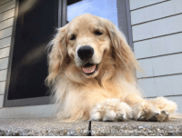 Memes, Golden Retriever, and Happy: Copy ight 2016 Ray Charles-The Golden Retriever Don't worry, be happy! Goodnight everyone!