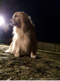 Its a cold one out tonight! Wook at my breath! Goodnight everyone and please say a prayer for my furiend Lilly as she has crossed the Rainbow Bridge. Thank you❤️ And if you haven't already, make sure to check out my new calendar! http://ray-charles-the-golden-retriever.myshopify.com: copynght 2016 Ray arles be Golden Retriever  o Its a cold one out tonight! Wook at my breath! Goodnight everyone and please say a prayer for my furiend Lilly as she has crossed the Rainbow Bridge. Thank you❤️ And if you haven't already, make sure to check out my new calendar! http://ray-charles-the-golden-retriever.myshopify.com
