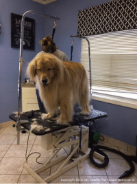 Guess who got pampered today!! Me! Momma says im fluffier than I was before and I smell dewicious!  Have a great night everyone and please keep my furiend Jackson in your thoughts and prayers as he has crossed the Rainbow Bridge. Thank you❤️: Copyright 2016 Ray Charles The Golden Retriever Guess who got pampered today!! Me! Momma says im fluffier than I was before and I smell dewicious!  Have a great night everyone and please keep my furiend Jackson in your thoughts and prayers as he has crossed the Rainbow Bridge. Thank you❤️