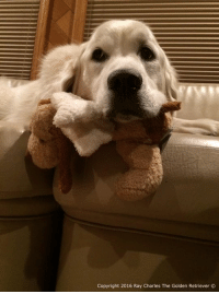 Memes, Golden Retriever, and Ray Charles: Copyright 2016 Ray Charles The Golden Retriever Jack O's such a little angel...Not! He's always up to something! We hope everyone had a great weekend and momma would like to thank everyone for all the birthday wishes! Goodnight!