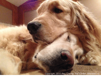 Another Flashback Fwiday to end the night off right. Hawley sure did make a gweat head rest! Goodnight evewyone and please keep my furiends Odett, Wally and Kali in your thoughts and prayers as they have crossed the Rainbow Bridge. Thank you❤️: Copyright 2016 Ray Charles The Golden Retriever O Another Flashback Fwiday to end the night off right. Hawley sure did make a gweat head rest! Goodnight evewyone and please keep my furiends Odett, Wally and Kali in your thoughts and prayers as they have crossed the Rainbow Bridge. Thank you❤️
