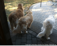 The Three Musketeers tooshie Tuesday! Have a great day everyone!: Copyright 2016 Ray Charles The Golden Retriever O The Three Musketeers tooshie Tuesday! Have a great day everyone!