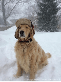 Throwback Thursday to this cwazy snow storm in January of 2015! I can't wait to get another storm wike this!: Copyright 2016 Ray Charles  The Golden Retriever  S Throwback Thursday to this cwazy snow storm in January of 2015! I can't wait to get another storm wike this!