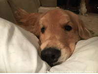 You put these pillows here for me right momma!? Goodnight everyone and please keep my furiends Zoe and Molly in your thoughts and prayers as they have crossed the Rainbow Bridge. Thank you❤️: Copyright 2016 Ray Charles The Golden Retriever You put these pillows here for me right momma!? Goodnight everyone and please keep my furiends Zoe and Molly in your thoughts and prayers as they have crossed the Rainbow Bridge. Thank you❤️