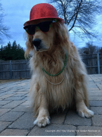 Memes, Mardi Gras, and 🤖: Copyright 2017 Ray Charles The Golden Retriever Happy Mardi Gras everyone! Whos partying today!?