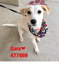Dogs, Food, and Memes: Cora  477869 Email Placement@sanantoniopetsalive.org if you are interested in Adopting, Fostering, or Rescuing!  Our shelter is open from 11AM-7PM Mon -Fri, 11AM-5PM Sat and Sun.  Urgent Pets are at Animal Care Services/151 Campus. SAPA! is Only in Bldg 1 GO TO SAPA BLDG 1 & bring the Pet's ID! Address: 4710 Hwy. 151 San Antonio, Texas 78227 (Next Door to the San Antonio Food Bank on 151 Access Road)  **All Safe Dogs can be found in our Safe Album!** ---------------------------------------------------------------------------------------------------------- **SHORT TERM FOSTERS ARE NEEDED TO SAVE LIVES- email placement@sanantoniopetsalive.org if you are interested in being a temporary foster!!**