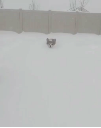 Corgi, Snow, and Relatable: corgi snow plow https://t.co/GUuF7jn9zO