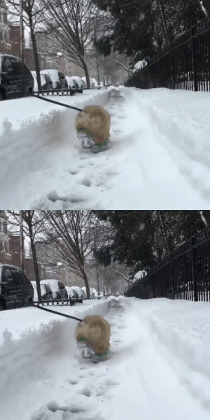 Corgi walking through the snow in his little booties (via): Corgi walking through the snow in his little booties (via)