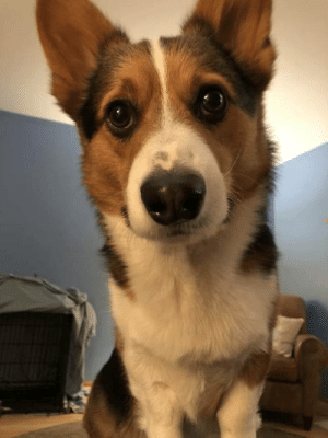 Tumblr, Blog, and Com: corgikistan:  He gets his bedtime treat at 9:30pm. It is now 9:35pm and he is…