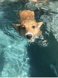 Tumblr, Blog, and Time: corgikistan:  Our Daisy went for a swim for the first time today and loved it! She kept jumping in!