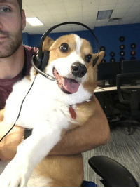 Tumblr, Work, and Blog: corgikistan:  Sammy helped me call clients at work yesterday. Employee of the…