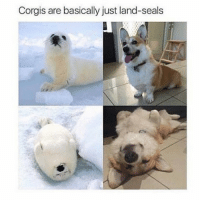 Funny, Ted, and Hilarious: Corgis are basically just land-seals I knew it (@hilarious.ted)