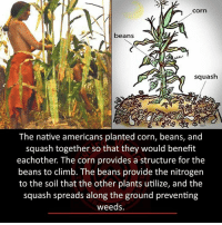 Squashing: Corn  beans  squash  The native americans planted corn, beans, and  squash together so that they would benefit  eachother. The corn provides a structure for the  beans to climb. The beans provide the nitrogen  to the soil that the other plants utilize, and the  squash spreads along the ground preventing  weeds.