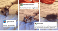 Beautiful, Tumblr, and Blog: cosmictuesdays  Humans will pet anything  gifsboom  toffeecape  Baby armadillo  How wonderful, then, to live on a planet  full of creatures that like to be petted! awesomacious:  A beautiful symbiotic relationship
