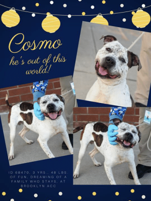 Being Alone, Cats, and Children: Cosmo  he's out of this  world!  ID 68470. 3 YRS 48 LBS  OF FUN, DREAMING OF A  FAMILY WHO STAYS, AT  BROOKLYN ACC INTAKE DATE – 7/8/2019  He's so happy, playful and sweet that you would never know COSMO's heart is broken.  He lived with his parent (and his family) since he was about 8 weeks old, when she found him in a box on the street, scared and alone.  Since then he has lived with and/or been around numerous children of every age, and he was always playful, affectionate, and respectful.  He also lived with and loved a small dog who his family said he was also very affectionate with.  So how could this happen?  How could this wonderful family pet find himself alone once again in the big wide world.  After 3 years of heaven, he's now in hell.  But not entirely.  Cosmo has such a winning personality, and such sweet ways, that he has made many friends at the shelter, and the volunteers and staff adore him.  But what would make them happier than anything else, would be for a committed family to pick Cosmo, and make him their own.    Cosmo got a Level 3 rating, so he's good to go to a home with adults and children over the age of 13.  Hurry and save his life?  You can message our page or email us at MustLoveDogsNYC@gmail.com for assistance fostering or adopting him.  MY MOVIE: Cosmo ~ https://youtu.be/TJ5UNJJKEV0  COSMO, ID# 68470, @ 3 Yrs. Old, 48 lbs. Unaltered Male Brooklyn ACC, Large Mixed Breed Cross, Red Merle   Owner Surrender Reason:   Owner no longer has space for him Shelter Assessment Rating: LEVEL 3 No children (under 13) Medical Behavior Rating:   OWNER SURRENDER NOTES - BASIC INFORMATION: Cosmo is a white and brown brindle male dog that was surrendered by his owner due to the fact she no longer has space for him. The client stated that she found Cosmo in a box on the street when he was about 8 week old. Cosmo previously lived with 2 adults, 2 children and 1 dog. When around strangers Cosmo is friendly and outgoing. When playing with adults he is exuberant. Cosmo has spent time in the home with children ages 1-10 years old. when around them he is friendly and outgoing. when playing with the children he is exuberant. Cosmo has spent time in the home with a small dog and he was relaxed and affectionate. When playing with other dogs he is exuberant. Cosmo has not spent time in the home with cats so it is unknown how he will react. He is not bothered if someone was to touch his food treats or toys. He is friendly if someone unfamiliar approaches has house or family member. Cosmo has no bite history, he is partially housetrained and his previous owner describes his energy level as high.   Other Notes:  Owner stated that overall Cosmo behaves well. During loud noises and fire works he is not bothered. He also is not bothered if he is bathed brushed or has his nails trimmed. He is friendly if he is restrained pushed off the couch or disturbed while he sleeps.  Has this dog ever had any medical issues? No Medical Notes: No reported medical concerns.  For a New Family to Know:  Owner described Cosmo as friendly affectionate playful and excitable. When at home he likes to be in the same room as his owner. He has been kept mostly indoors and he eats dry dog food. When using the bathroom he will go outside but if he is not taken out regularly he will pee or poop in the home. He has never been crated or left in the yard so it is unknown how he will react. When on the leash he pulls hard when off the leash he might run away.   INTAKE NOTES – DATE OF INTAKE, 07-08-2019: During intake Cosmo was jumping on the counselor and mouthing her hand when she tried to leash him. No collar was applied during intake and he allowed the counselor to take his picture with no problems.  BEHAVIOR NOTES   Means of surrender (length of time in previous home): Stray, known history Previously lived with: 2 Adults, 2 Children, 1 Dog (Small) Behavior toward strangers: Friendly, outgoing and plays exuberantly Behavior toward children: Friendly, outgoing and plays exuberantly (w/resident and visiting children - varying ages) Behavior toward dogs: Relaxed, affectionate and play exuberantly (w/resident dog) Behavior toward cats: Unknown Resource guarding: None reported Bite history: None reported Housetrained: Partially Energy level/descriptors: Cosmo is described as friendly, affectionate, playful and excitable with a high level of energy. Other Notes: Previous owner reported Cosmo to pull hard when he is being walked on leash.  SAFER ASSESSMENT:   Leash Walking Strength and pulling: Moderate-hard pulling Reactivity to humans: None Reactivity to dogs: None Leash walking comments:  Sociability Loose in room (15-20 seconds): Loose and wiggly, high energy, readily accepts treats with hard mouth, panting, approaches readily, tail wagging, ears neutral Call over: Approaches readily, somewhat exuberant, jumps up onto handler's lap Sociability comments:   Handling  Soft handling: Soft-neutral, panting, ears back, tail wagging, tension in head, moves away from handler with some contact, overstimulated Exuberant handling: Neutral-tense, moves from sitting to standing with contact, overstimulated, head whipping with some mouthiness (no pressure), tail wagging, ears back, panting Handling comments:  Arousal Jog: Engages in play with handler, soft and loose Arousal comments: Prior to start, jumps up softly onto handler, tail wagging, panting; When jog is completed, jumps up and mouths toward leash, readily refocuses  Knock Knock Comments: Turns toward handler when assistant exits, tail wagging, panting, lolling tongue; No response to knock; When assistant enters, tail wagging, then turns and runs in the opposite direction, loose and wiggly, approaches after circling around and jumps up softly   Toy  Toy comments: Grips firmly and relinquishes, attempts to engage in play with assess-a-hand; Readily trades  PLAYGROUP NOTES - DOG TO DOG SUMMARIES: Cosmo was brought in as a stray so his behavior around other dogs is unknown.   7/9: When off leash at the Care Center, Cosmo greets a novel female with a bouncy, wiggly posture. He greets her face to face, a little bit pushy about it, and then becomes sexually motivated licking her genital area. He is easily redirected and then explores the yard.  INTAKE BEHAVIOR: Date of intake: 9-Jul-2019 Summary: Jumping up, mouthing toward staff member's hand, leash-biting; Allowed handling  MEDICAL BEHAVIOR: Date of initial: 9-Jul-2019 Summary: Active, jumped up, panting, some resistance to restraint; Allowed most handling  ENERGY LEVEL: Cosmo has been observed to exhibit a very high level of energy during his interactions in the care center. We cannot be certain of his behavior in a home environment, but we recommend that he be provided daily mental and physical stimulation as an outlet for his energy.  IN SHELTER OBSERVATIONS: 7/10: After handler secured her rope on Cosmo, he rushed out and hard pulled. Upon exiting the room, Cosmo head whipped and then jumped up, open mouthed, towards the rope. Handler continued to walk with him refocused. During his interaction, Cosmo jumped up and mouthed the rope multiple times but was easily distracted by sounds (squeakers, whistles, and calling of his name).  BEHAVIOR DETERMINATION: Level 3 Behavior Asilomar TM - Treatable-Manageable  Recommendations: No children (under 13)  Recommendations comments: No children (under 13): Due to Cosmo's observed lack of basic manners, mouthiness and arousal, we feel it would be best for him to be placed in a stable, adult-only home environment to ensure his success. It is advised that the new adopters should be able to exercise appropriate and safe management when handling Cosmo, allowing him to acclimate and decompress at his own pace. Force-free, reward-based training only is advised when introducing or exposing Cosmo to new and unfamiliar situations, as well as utilizing guidance from a qualified, professional trainer/behaviorist.  Potential challenges:  Basic manners/poor impulse control Social hyperarousal Mouthiness/poor bite inhibition Leash-biting Strength/leash pulling  Potential challenges comments:  Basic manners | Mouthiness | Leash-biting | Social hyperarousal: Cosmo exhibits a lack of basic manners during his interactions in the care center, where he has been observed to jump up onto staff and escalate to mouthing handler's and biting the leash. This behavior has been observed when Cosmo is aroused, although he does refocus readily and has not escalated beyond these behaviors. Please refer to the handouts for Basic manners/poor impulse control, Mouthiness/poor bite inhibition, Leash-biting and Social hyperarousal.  Strength/leash pulling: Previous owner reported Cosmo to pull hard when he is being walked on leash. Cosmo was observed to display leash pulling due to his strength during his interactions in the care center. Please refer to the handout on Strength/leash pulling.  MEDICAL EXAM NOTES   12-Jul-2019 Progress Exam H: CIRDC signs seen on rounds S: BAR, consistent sneezing and coughing, no vd. Eyes: Unremarkable OU Ears: Unremarkable AU. Nasal Cavity: Mild serous nasal discharge  Lungs: Eupneic U/G: Normal external genitalia. No discharge. Musculoskeletal: Ambulatory x 4 with no appreciable lameness.  BCS = 5/9 Neuro: Appropriate mentation.  Rectal: Not performed. Externally normal. Assessment 1)CIRDC  Plan:  Move to iso, start enrofloxacin 10 mg/kg PO SID x 14 days Start doxycycline 10 mg/kg PO SID x 14d  9-Jul-2019  DVM Intake Exam Estimated age: Approx 3 years Microchip noted on Intake? Negative, placed at intake History : Stray Subjective: BARH, hyper and jumps up, panting, some resistance to restraint and staying still, but generally allows all handling Evidence of Cruelty seen - none Evidence of Trauma seen - none Objective: P = wnl R = wnl BCS = 5/9 EENT: Eyes clear, no ocular discharge, ears clean, no nasal discharge noted Oral Exam: Tartar at canines - stage I PLN: No enlargements noted H/L: NMA, SSP; Lungs clear, eupnic ABD: Non painful, no masses palpated U/G: Male, two scrotal testicles MSI: Ambulatory x 4, skin free of parasites, no masses noted, healthy hair coat CNS: Mentation appropriate - no signs of neurologic abnormalities Rectal: Externally normal Assessment: Dental disease, stage I Prognosis: Good Plan: Neuter SURGERY: Okay for surgery  *** TO FOSTER OR ADOPT ***   If you would like to adopt a NYC ACC dog, and can get to the shelter in person to complete the adoption process, you can contact the shelter directly. We have provided the Brooklyn, Staten Island and Manhattan information below. Adoption hours at these facilities is Noon – 8:00 p.m. (6:30 on weekends)  If you CANNOT get to the shelter in person and you want to FOSTER OR ADOPT a NYC ACC Dog, you can PRIVATE MESSAGE our Must Love Dogs page for assistance. PLEASE NOTE: You MUST live in NY, NJ, PA, CT, RI, DE, MD, MA, NH, VT, ME or Northern VA. You will need to fill out applications with a New Hope Rescue Partner to foster or adopt a NYC ACC dog. Transport is available if you live within the prescribed range of states.  Shelter contact information: Phone number (212) 788-4000 Email adopt@nycacc.org  Shelter Addresses: Brooklyn Shelter: 2336 Linden Boulevard Brooklyn, NY 11208 Manhattan Shelter: 326 East 110 St. New York, NY 10029 Staten Island Shelter: 3139 Veterans Road West Staten Island, NY 10309  *** NEW NYC ACC RATING SYSTEM ***  Level 1 Dogs with Level 1 determinations are suitable for the majority of homes. These dogs are not displaying concerning behaviors in shelter, and the owner surrender profile (where available) is positive.   Level 2  Dogs with Level 2 determinations will be suitable for adopters with some previous dog experience. They will have displayed behavior in the shelter (or have owner reported behavior) that requires some training, or is simply not suitable for an adopter with minimal experience.   Level 3 Dogs with Level 3 determinations will need to go to homes with experienced adopters, and the ACC strongly suggest that the adopter have prior experience with the challenges described and/or an understanding of the challenge and how to manage it safely in a home environment. In many cases, a trainer will be needed to manage and work on the behaviors safely in a home environment.