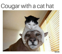 cougar: Cougar with a cat hat  Lependarylastall