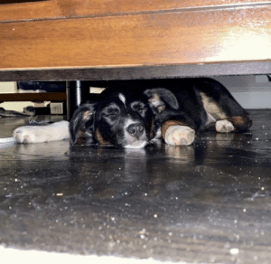 Couldn't find my parent's puppy Roo... didn't think to check under the bed. Maybe she can sweep the floor when she wakes up: Couldn't find my parent's puppy Roo... didn't think to check under the bed. Maybe she can sweep the floor when she wakes up