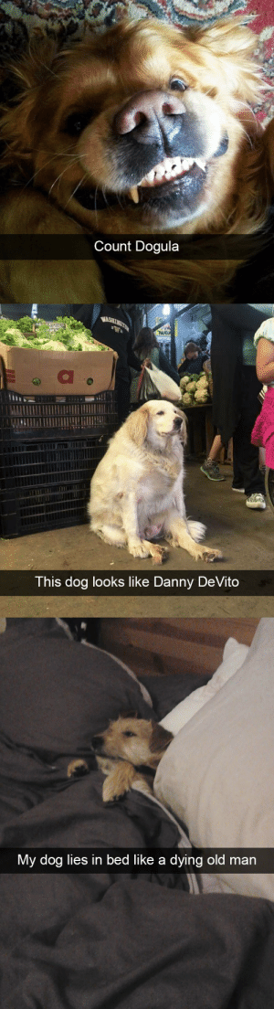 animalsnaps:Animal snaps: Count Dogula   WASHINGTON  NUEU  This dog looks like Danny DeVito   My dog lies in bed like a dying old man animalsnaps:Animal snaps