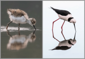 Couple of pics I took and a young and old Pied Stilt.: Couple of pics I took and a young and old Pied Stilt.