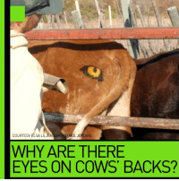 COURTESY  ELSA LILJEH  NEILJORDAN.  WHY ARE THERE  EYES ON COWS BACKS? Ridiculous but biologically wise: Watch a weird method to save cows Credit: http://observers.france24.com/en/20161011-botswana-cows-eyes-painted-behinds-lions