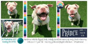 Bored, Cats, and Children: Cove  PRINCE  61059-3  Plo SHeEK  56 lbs  At Manhattan ACC  Handsome with the Biggest Smile, initially timid but warms up nicely. lived in harmony  with a 4 G 1e year old was very gentle and playful with them - Housetrained  waiting for LOVE! TO BE KILLED - 6/13/2019  IMAGINE A PLACE WHERE SHELTER PETS HAD as much time as they needed to find a loving new home! That would put an end to a lot of our troubles and heartache, and dogs like Prince would have the fairytale ending companion pets deserve. But that's just not the case and Prince doesn't have a lot of time. As a matter of fact, he has 48 hours to catch the eye of an amazing dog loving foster or adopter and the countdown starts right now. Prince is a gorgeous fella, even with a little bit of missing hair on the side of his handsome face due to a skin allergy. He lived in total and complete harmony with two children, ages 4 and 10, and his former owner says he was absolutely amazing with them; very gentle and playful always. Prince is also housetrained and while it takes him a little while (and we mean little) to warm up to strangers, once he does he's great. Prince is a dog whose going to shine bright in the right hands and that's all we want for him. Please help share this cutie for his second chance.   PRINCE@MANHATTAN ACC Hello, my name is Prince My animal id is #64059 I am a male tan dog at the  Manhattan Animal Care Center The shelter thinks I am about 3 years old, 56 lbs Came into shelter as a agency May 27, 2019 Prince is rescue only   Prince is at risk for behavioral reasons. Prince has a bite history and would be best suited for placement with a new hope partner that can further assess his behavior and provide the necessary behavior modification. Medically, Prince has a history of skin allergies which may need further care.  My medical notes are... Weight: 56 lbs Vet Notes L V T Notes 28/05/2019 DVM Intake Exam Estimated age:2-3 Microchip noted on Intake? no Microchip Number 