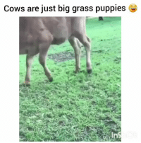 Funny, It's Lit, and Lit: Cows are just big grass puppies Oh shit its lit lmao